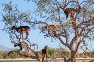 Ziegen auf Arganbaum