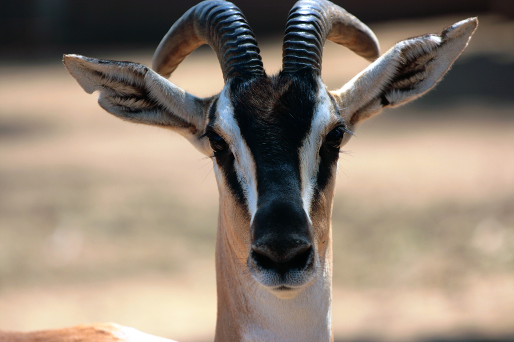 marokko-gazelle
