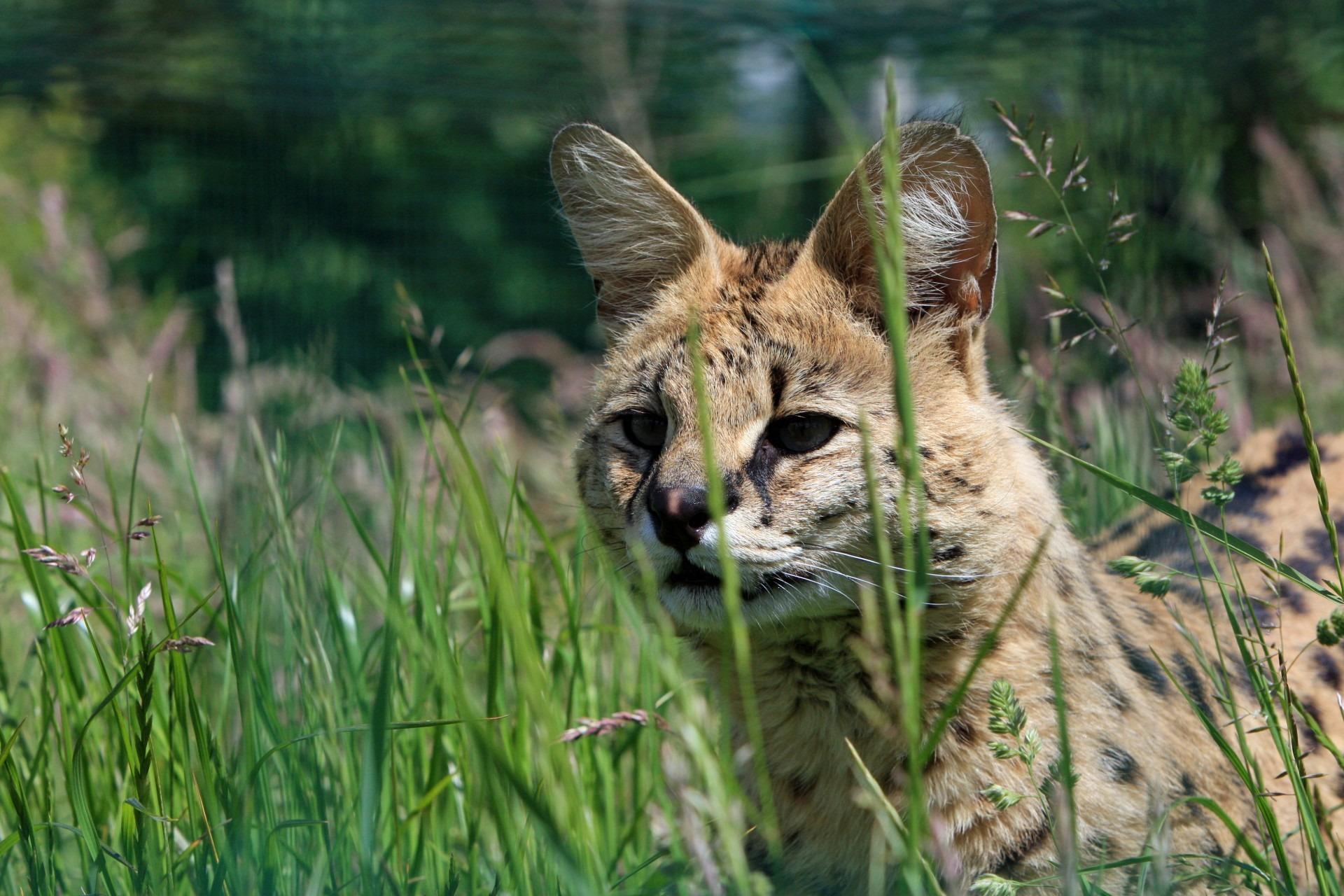 marokko-serval